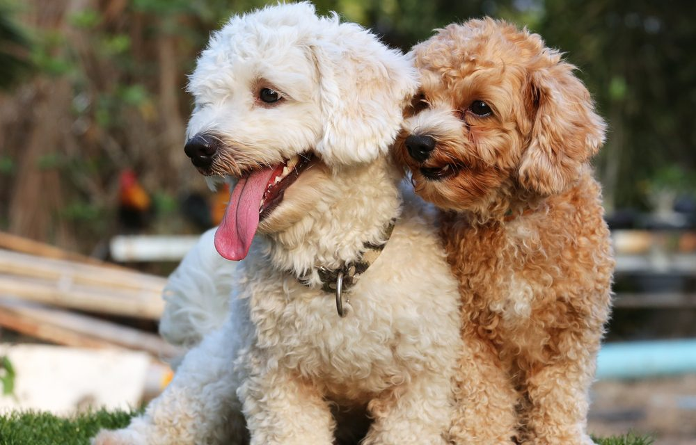 Hypoallergenic Dog Breeds Petproscanada